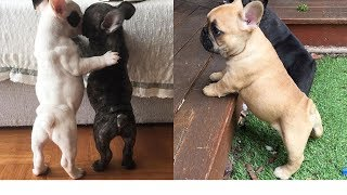 Funny and Cute French Bulldog Puppies Compilation #69 | Dogs Awesome