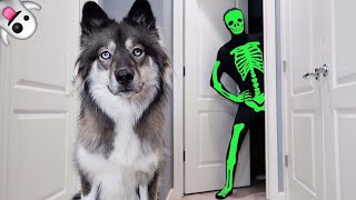 Skeleton Scares My Puppy on Halloween!