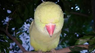 My cute Indian Ringneck Parrot Talking | free birds videos