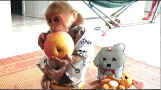 Cute Monkey Abu Loves Dog Toy and Eat Apple