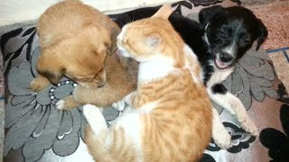 The orange kitten takes care of lost puppies