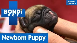 🐶 Newborn Puppy Not Breathing | S02E01 | Bondi Vet