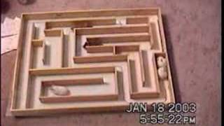 Hamsters in Maze