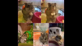 Cute Speedster Hamster Mix Hörcsög video
