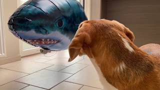Beagles vs Shark Prank! Funny Dogs Louie & Marie