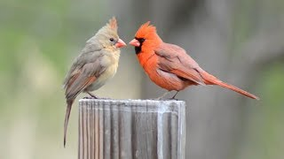 Funny Cardinal Birds: Male and Female Cardinals liking same stage