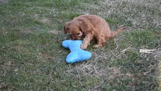 Cavapoo Puppies For Sale Mary Kauffman