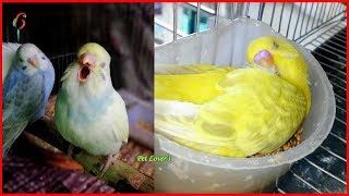 FUNNY Birds Doing FUNNY Stuff ! Cute Parrots Videos and Vines Compilation