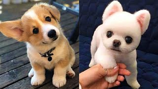 Funny Baby Puppies – Cute Dog Videos – Funny Puppy Dogs Video – Funny Baby Videos