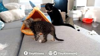 Tiny Kittens Canadian kittens play & cass puff puff watches 7 27 2017