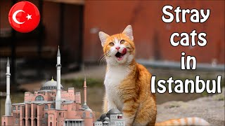Are the Stray Cats in Istanbul lucky? – Cute Cats