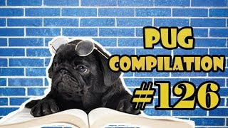 Funny Dogs but only Pug Videos | Pug Compilation 126 – InstaPugs – MIX 103-88