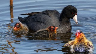 Sweet Family Of Coot Birds With There Cute Babies (At Nest).