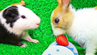 Hamsters, a rabbit and a guinea pig meet on the lawn! Part 2!