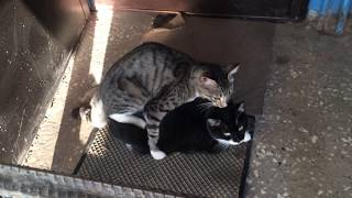 Cats Mating Season  cute cats,funny cats,Russian blue cat,black cat,cat cafe,tabby