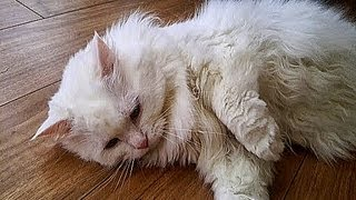 talking cat♥meowing♥funny cute cats video