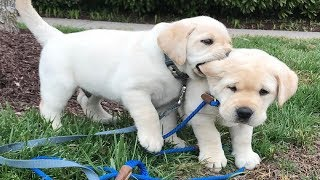 Labrador Puppies Funny Compilation #9 – Best of 2018