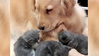 Lovely Golden Retriever Excited to Meet Newborn Kittens