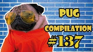 Pug Compilation 137 – Funny Dogs but only Pug Videos   Instapug
