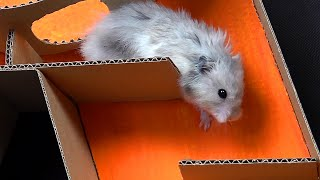 7-level Hamster Maze Speed Race – Is It Possible?