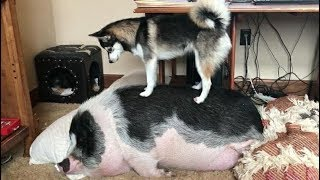 ♥Cute Dogs and Cats Doing Funny Things 2018♥ #74 – CuteVN