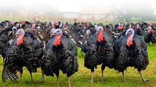 Angry Turkey Chasing People And Animals