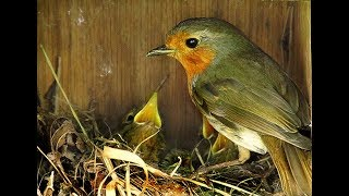 4  cute Robin Red Breast Chicks in a garden Bird House.