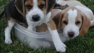 Beagle puppies barking at each other