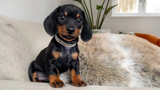 The calmest dachshund puppy of all.