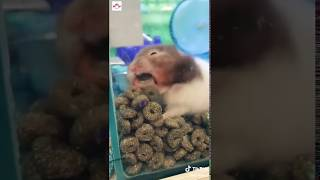 Funny hamsters And Cute Hamsters | POP Pets 🐹