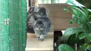 WHF Pallas Cat Kittens 2010 – 8 weeks old in the balcony box