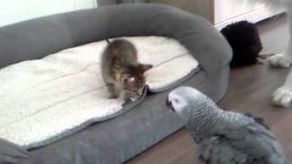 parrot meets the first foster kittens litter (6 weeks old)