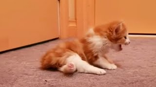 Miracle Paralyzed Kitten Learn To Walk with Help Of His Foster Mom