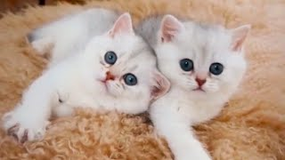 Funny Cats Tik Tok Videos 2020 Cute Baby Kittens Compilation #1