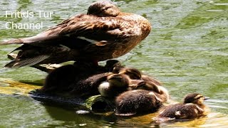 Funny birds; Mother Duck with Ducklings