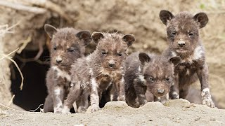 Wild Dog Puppies Emerge for the First Time – Super Cute!