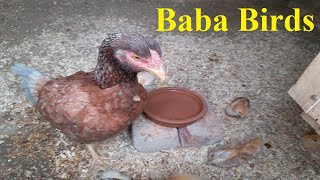 Beautiful || Aseel || Hen With || RIR Cute Chicks || Baba Birds