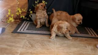 Golden Retriever Puppies For Sale Evangeline Stoltzfus