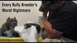Every American Bully Breeder's Worst Nightmare – Raw Reality Of Delivering Puppies