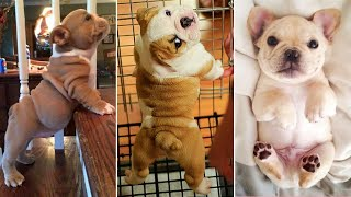 Top 20+ Best Cute French Bulldog Puppies Videos   Dogs Awesome – Funny Dog 2020