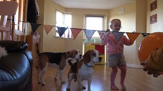 Cute Dogs Playing Volleyball at Home with Little girl