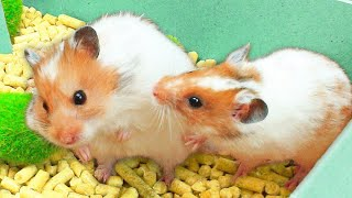 A romantic meeting of two hamsters in love! Hamsters in the maze!