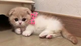 This Munchkin Kitten Will Fill Your Heart With Joy
