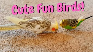 Cute Fun Birds | Budgie and Cockatiel Birds