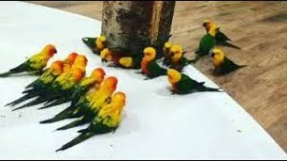 Cute And Funny Conure Parrot Gang War
