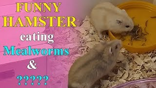 Funny Hamsters Videos #1 | Cute and Funny Moments of Gluttony Hamsters – Magic Hamster