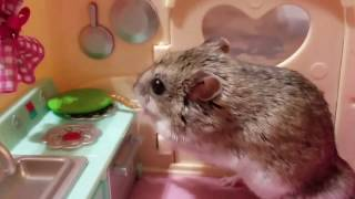 Happy Hamsters Doing Funny Things  Mashup