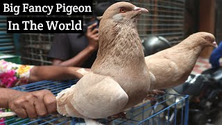 Best And Biggest Pigeon In The World || Fancy Pigeon || Runt Pigeon ||