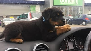 Best Of Cute Rottweiler Puppies Compilation – Funny Dogs 2020