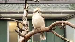 Cute Kookaburra Bird in Stuttgart Zoo